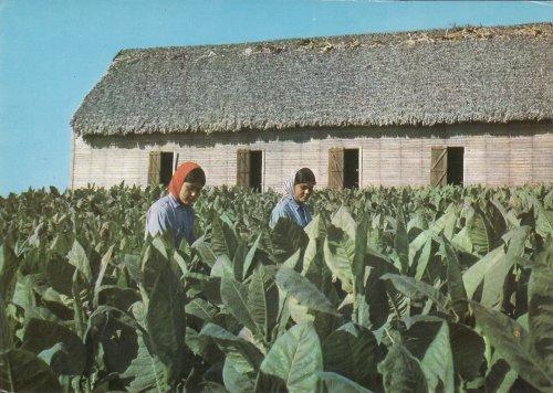 Dohányültetvény Kubában